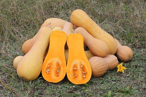 http://www.domogorodnika.ru/sites/default/files/Cucurbita_moschata_Butternut_2012_G2.jpg